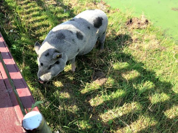 pigsatthefarm