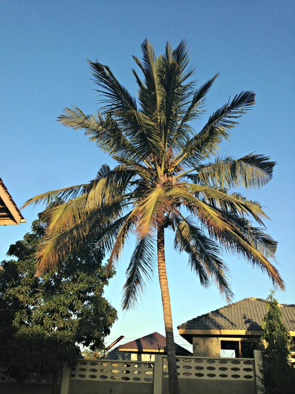 coconut-tree-tanzania-photo-diary