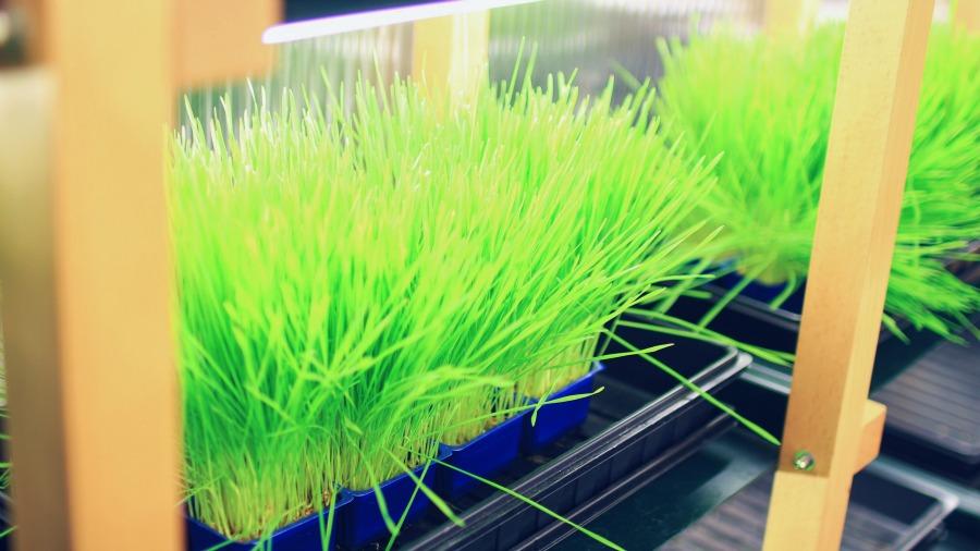 wheatgrass_strå